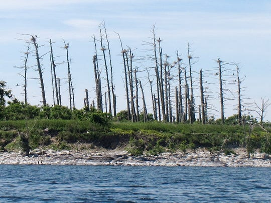 "In this June 16, 2016 photo, double-crested cormorants sit atop trees that the birds have killed on island ""D"" of the Four Brothers Islands on the New York side in Lake Champlain. Biologists have been working to reduce the populations of the birds in the nesting grounds on the islands in the lake. But a federal judge's decision suspended efforts to control the bird on Lake Champlain and in 24 Eastern states."