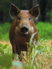 Two young, wild pigs in Mississippi feed in a green