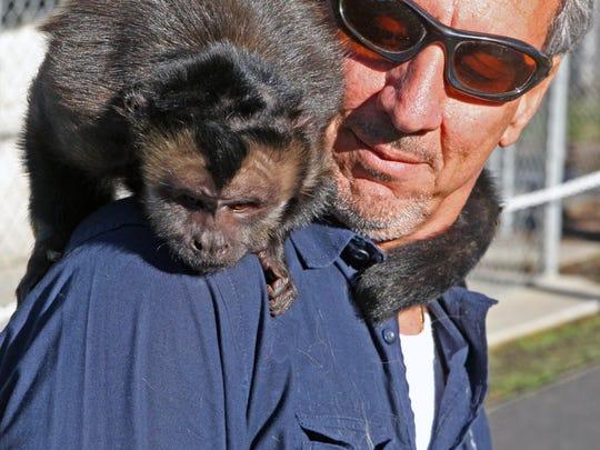 Top: Forrest rests calmly on the shoulder of Monterey Zoo director Charlie SammutTufted or Black Capped Capuchin monkeys have prehensile tails. Forrests' is curled about Charlie Sammut's neck.