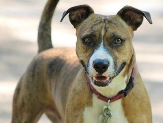 Corey is a 2-year-old, 35-pound, neutered male pit