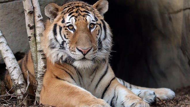 Metis, the newest tiger at the Indianapolis Zoo