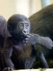 Amani, a female Western Lowland gorilla, was born in