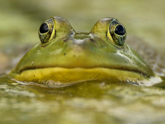 This close-up image of a bullfrog taken by Riley Kopesky
