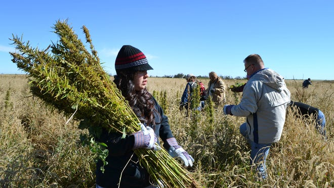 Volunteers harvest hemp at a farm in Springfield, Colo., during the first known harvest of industrial hemp in the U.S. since the 1950s.