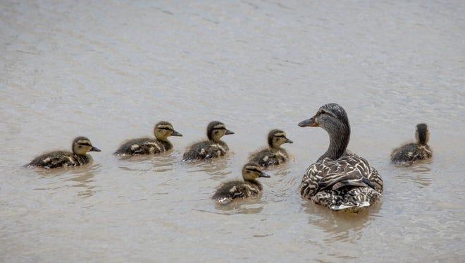 Young ducks swim in a wetlands area.