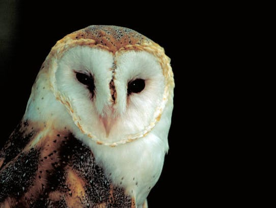 The barn owl is being considered for listing on the