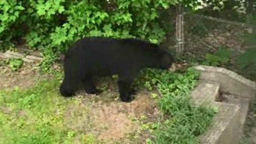 A bear in a Beacon resident's backyard at 7:50 p.m. Thursday.