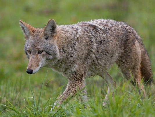 Coyote - Generic stock image