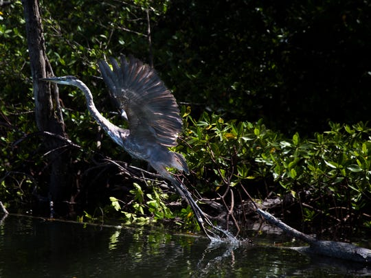A blue heron takes flight on Wednesday, Aug. 9, 2017, near Wiggins Pass in North Naples.
