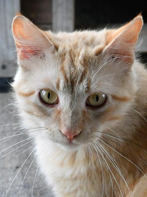 Randy is a 2-year old, orange tabby, domestic medium-haired cat. He has been vaccinated, neutered and microchipped. Randy is calm and would do well in a home with older children. He is available for adoption at the Humane Society of Wichita County.
