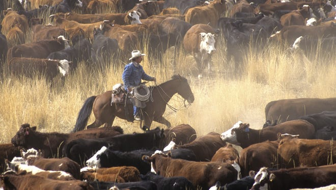 Clay Thompson answers the question of why cattle are called 'dogies.'