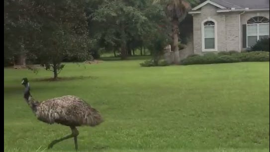 LCSO deputies help lure in an escaped emu.