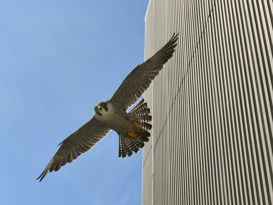 Tornado, an adult male peregrine falcon swoops low protecting its nest, Tuesday, June 26,2018, near the 10th floor of BWL's Eckert Power Station in REO Town.  Veterinarians from Potter Park Zoo took its baby chick from the nesting box for a complete physical exam.    DNR biologists tagged the bird to help track migration patterns.  Peregrine falcons are endangered in Michigan.   They are known for their speed, which can exceed 200 mph while hunting. Their main diet is small birds, though they sometimes hunt small mammals, reptiles or insects