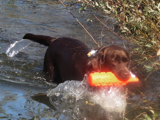 Boston, a chocolate Labrador retriever owned by Douglas Church, of Elmira, fetches a training dummy Sunday from the pond at Wilkins RV in Bath as part of the Companion Retriever Hunting Challenge at the Southern Tier Outdoor Show.