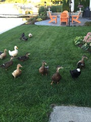 Some of the 15 domesticated ducks roam the backyards of a neighborhood on Crooked Lake Road in Genoa Township.