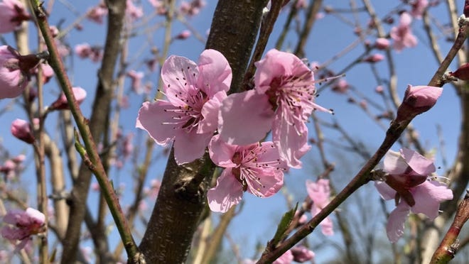 Peach trees bloom in New Paltz, N.Y. Peach blossoms are a welcome sight in early spring, so, for fruit, it's best to delay that show as long as possible by paying attention to microclimate.