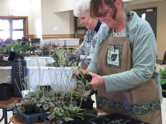The Southwestern Indiana Master Gardeners are gathering to transplant, divide and replant perennials for each spring's Master Gardener Plant Sale. Susan Ohning, rear, and Susan Harding are here repotting tiarella preparing for a past sale. The Master Gardener classes begin Sept. 19.