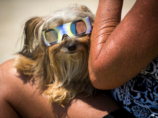 Sir Bentley Albaugh, a Yorkie Pom mix, wears his eclipse glasses while waiting for the solar eclipse at The Cove in Farragut on Monday, August 21, 2017.