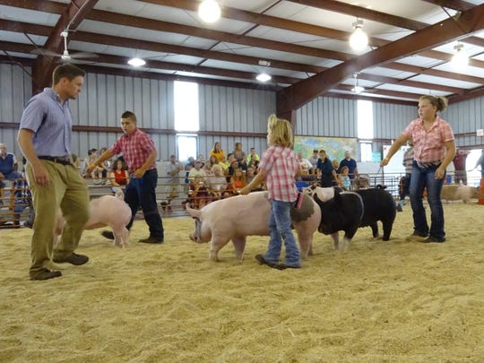 Exhibitors guide their hogs around for the judge Monday morning at the Crawford County Fair.