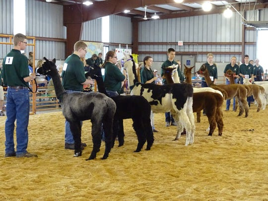 Alpaca showmen keep their eyes on the judge Sunday during the 4-H Alpaca show.