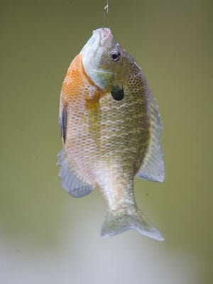 """One of many bluegills caught from a farm pond. Angler Jack Larson said bluegill are his favorite fish. He said, """"They give you a good battle and are excellent table fare. What more can you ask from a fish?"""""""