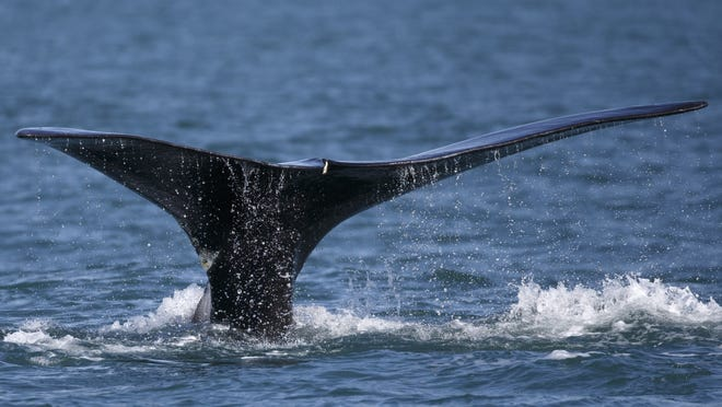 A North Atlantic right whale breaches in Cape Cod Bay in 2018. A whale seen floating off New Jersey has been confirmed as a right whale. It marks the first observed right whale death in U.S. waters this year.