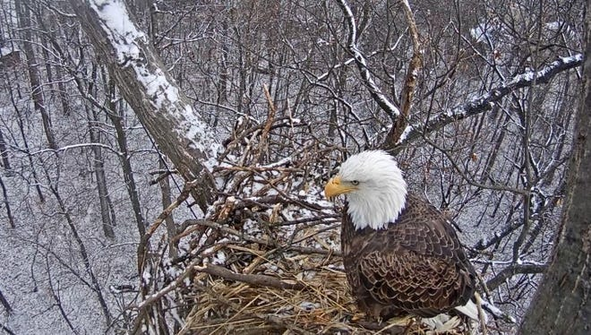 An eagle sits on what is left of its nest near Codorus State Park after a partial collapse on January 11, 2018.