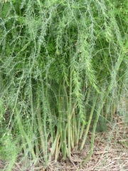 Some asparagus beds can produce for up to 25 years when cared for properly.