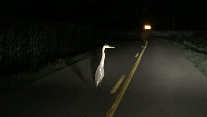 A heron stands in the middle of Larue Road in Henderson County on July 16. This caused quite a surprise for a Jeep full of people heading home after an outing.