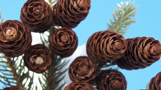 There are many native conifers found in our area, with spruces, pines, junipers, white-cedar and hemlock among the most common. Spruces can be identified by their shorter, papery cones and short, sharp needles.