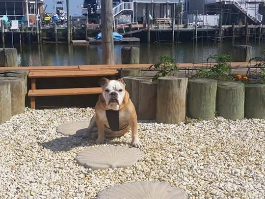 Rocky, a bulldog rescued by MidAtlantic Bulldog Rescue
