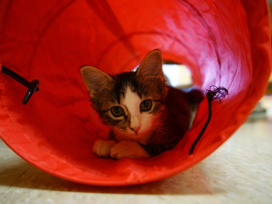 A kitten up for adoption plays in a toy tunnel at the