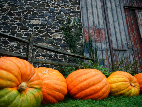 Massive pumpkins grown at  H.G. Haskell sit next to