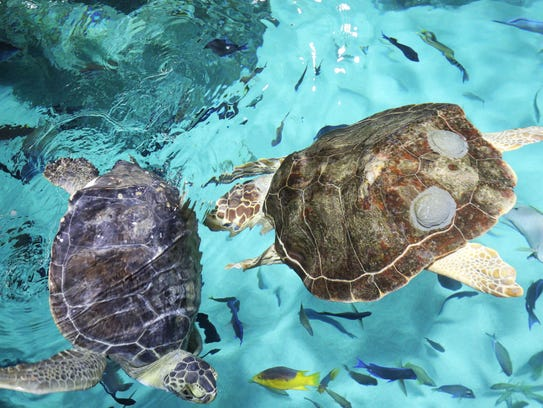 Charlie (right), a rescued Loggerhead sea turtle, and