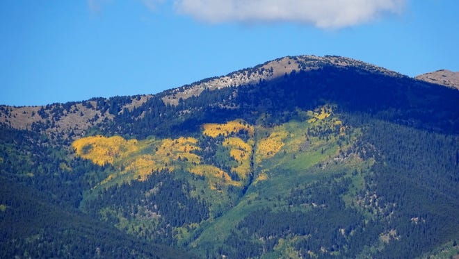 The golden leaves of aspen trees changing color with the arrival of fall stand out against a pine forest on a mountainside near Buena Vista, Colo. on Sept. 7, 2014. A new report says climate change will reduce the areas where both aspens and pines can grow over the next 45 years.
