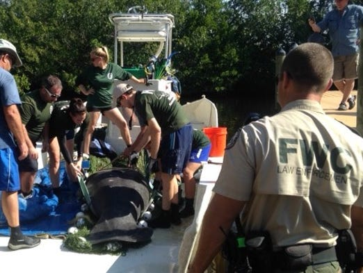 Fwc Rescues 1 000 Pound Manatee In South Lee County