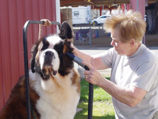 Bonnie Leech of Roseburg, Oregon, blow dries GG to get ready for the show ring at the Shasta Kennel Club Dog Show on Sunday at the Shasta District Fair grounds in Anderson.