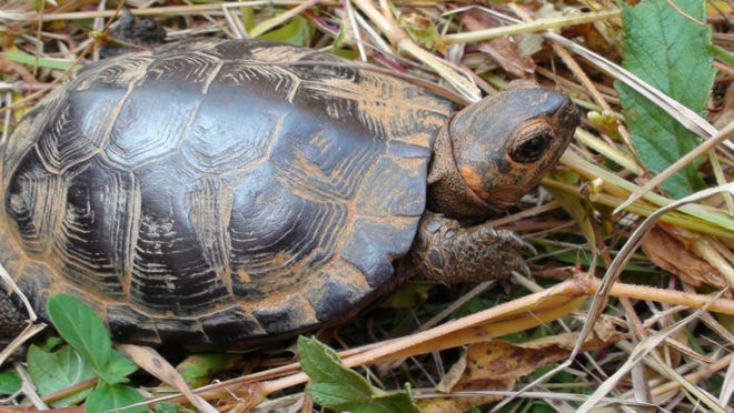 Bog turtles are one of the five federally endangered species that make their home in the newly established Mountain Bogs National Wildlife Refuge in Ashe County.