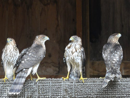 Four cooper's hawks perch together on a beam in their