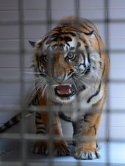 A Sumatran tiger awaits release into the tiger habitat