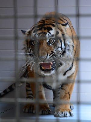 A Sumatran tiger awaits release into the tiger habitat at the Jackson Zoo on June 7, 2018.