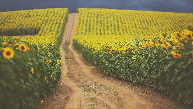 Photo of Frederick Farms Sunflowers by Carrie Ann Grippo-Pike. This ran in the 2016 Community Photo Issue