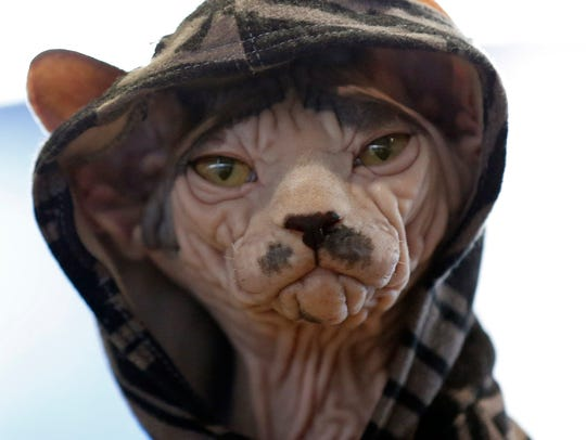 Felip, a Sphinx is seen at the 141st Westminster Kennel