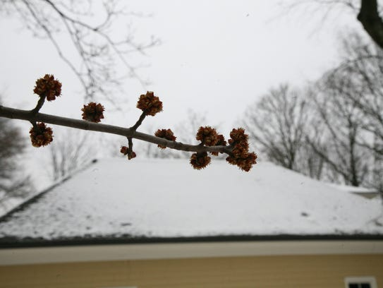 Reddish flowers blooming on the branch of a silver maple tree in North Jersey despite an early April snowfall.
