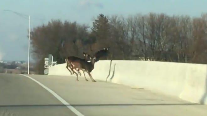 A herd of deer jumped the 80th Street SW bridge over Highway 30 in Cedar Rapids on Sunday, Dec. 10, 2017.