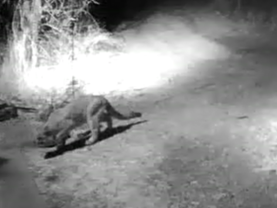 A mountain lion is seen in a video recorded in January