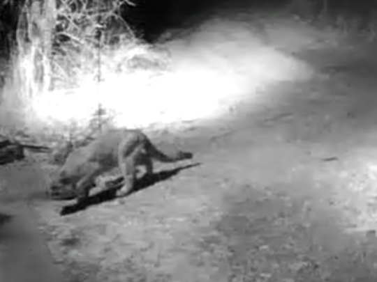 A mountain lion is seen in a video recorded in January at a home north of Aztec.
