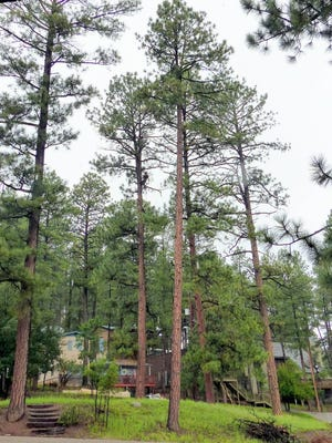 A mere speck on the tall pine at back center, Jason Swanner certainly isn't afraid of heights as he cuts dead limbs in Ruidoso.