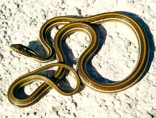 636626484387097587-2-Arid-Land-Ribbonsnake-1.jpg
