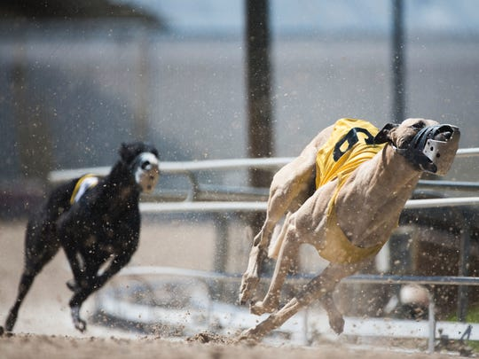 Greyhounds race at the Naples-Fort Myers Track and Entertainment Center in Bonita Springs.